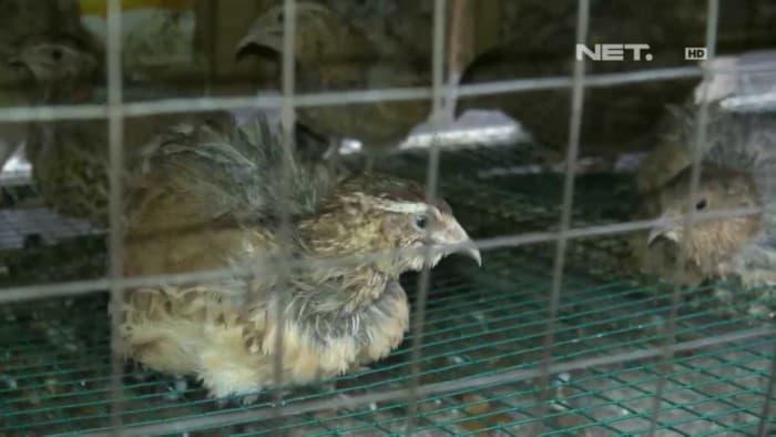 Sahabatnesia - Burung Puyuh Sakit