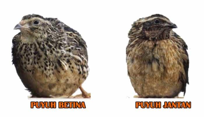 Ternak Puyuh Petelur - Induk Puyuh