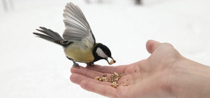 Ternak Murai Batu - Memberi Makan Burung