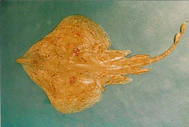 Ikan Terlangka Maltese Ray