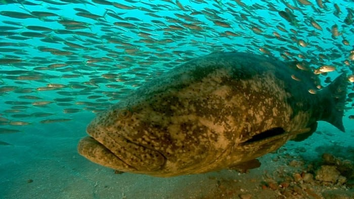 Ikan Terlangka Goliath Grouper