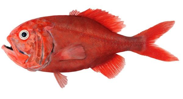 Ikan Terlangka Orange Roughy