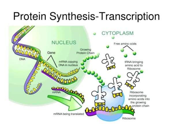 gambar sintesis protein