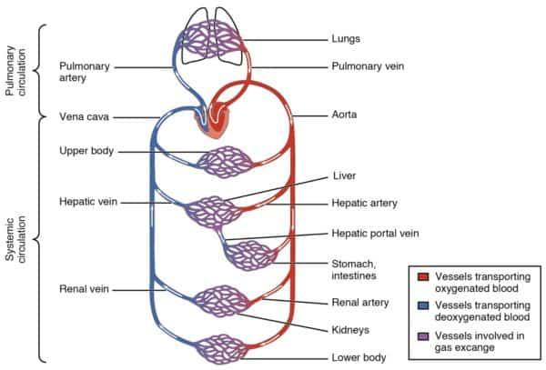 gambar sistem peredaran darah manusia