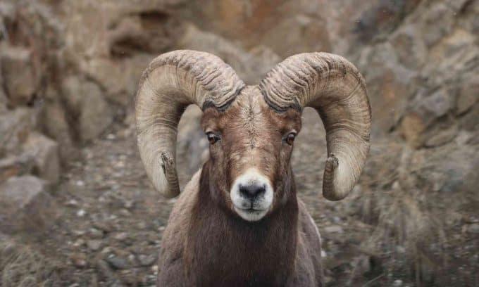 Domba Bighorn Sheep