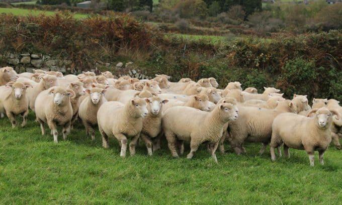 Domba Dorset