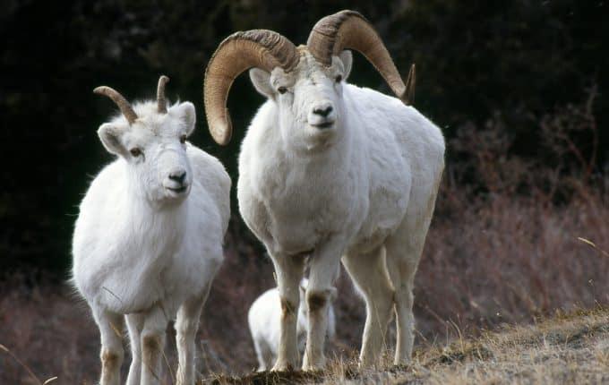 Domba Thinhorn